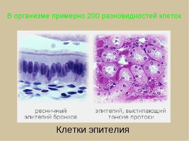 В организме примерно 200 разновидностей клеток Клетки эпителия