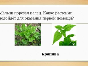 Малыш порезал палец. Какое растение подойдёт для оказания первой помощи? крап