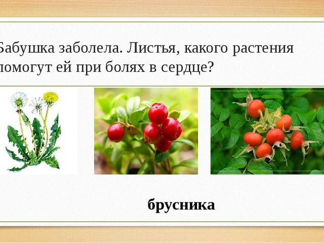 Бабушка заболела. Листья, какого растения помогут ей при болях в сердце? брус...