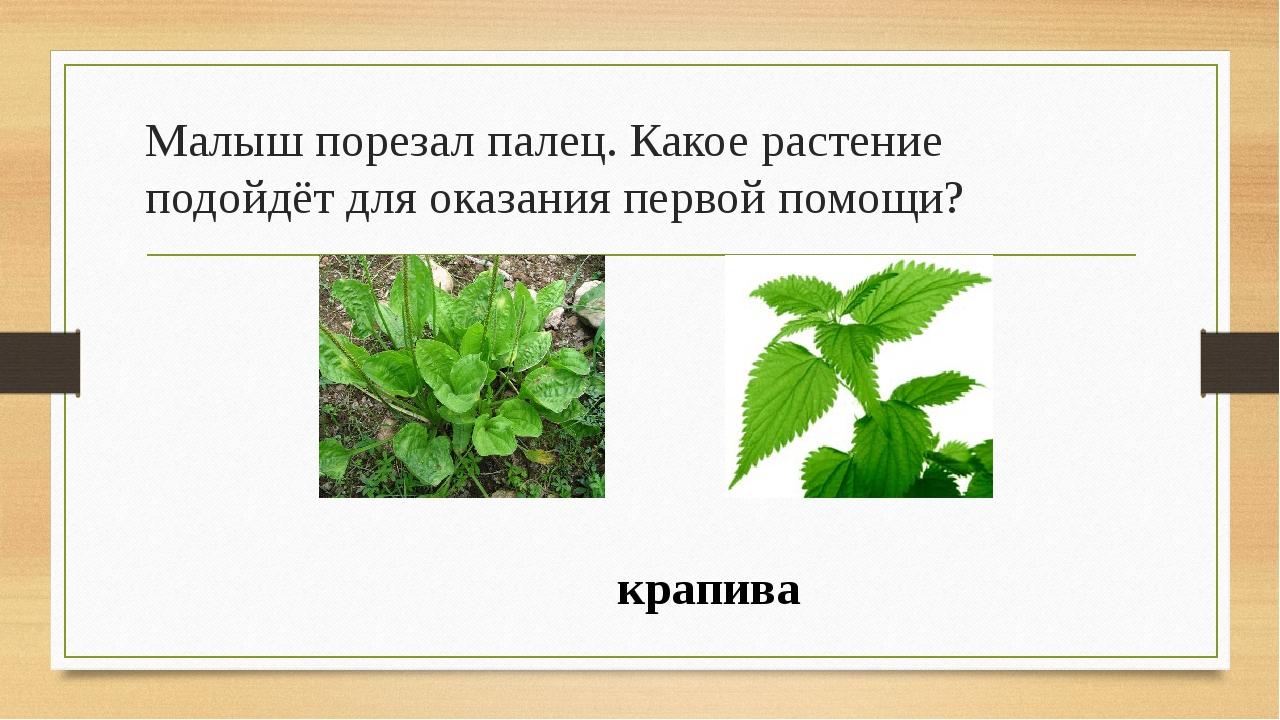 Малыш порезал палец. Какое растение подойдёт для оказания первой помощи? крап...