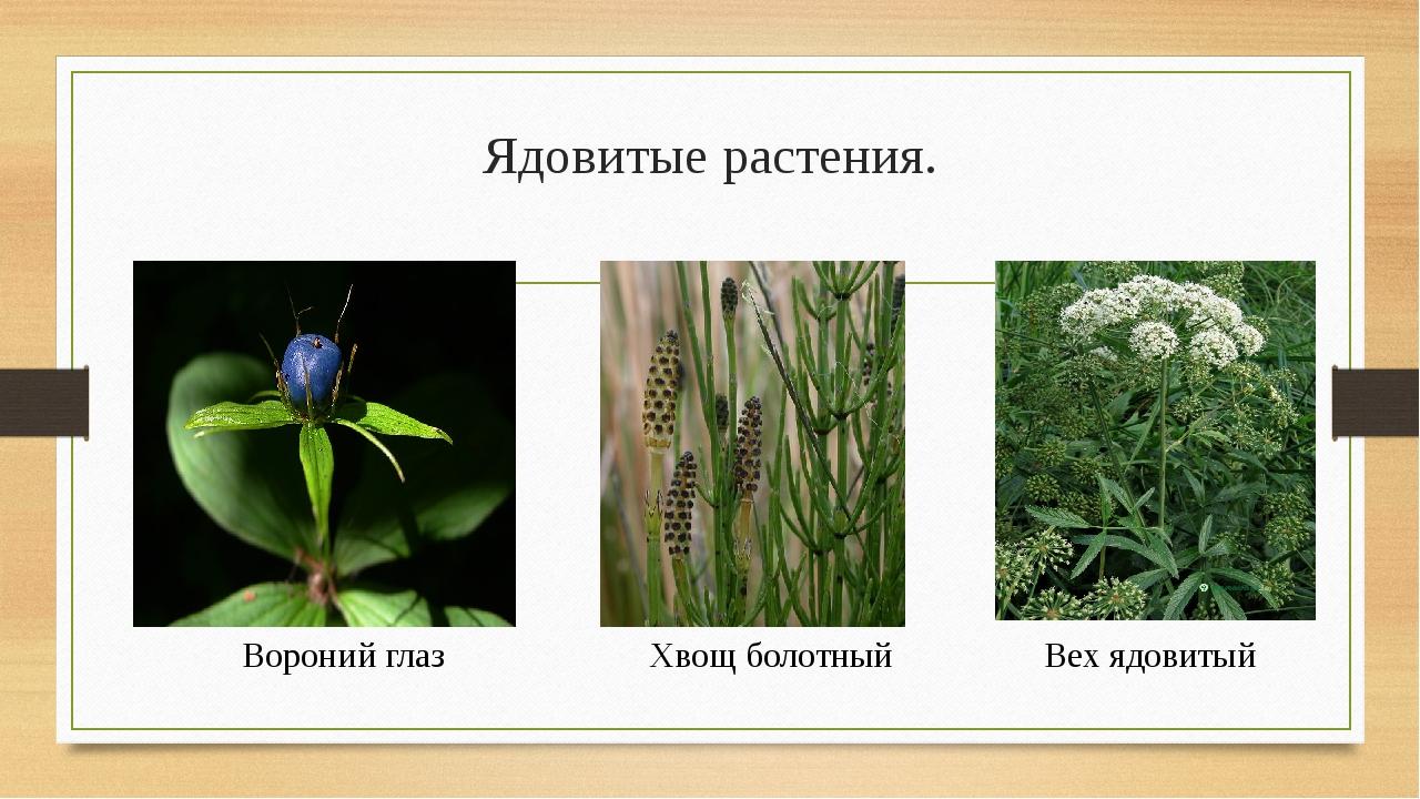 Ядовитые растения. Вороний глаз Хвощ болотный Вех ядовитый