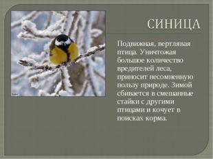 Подвижная, вертлявая птица. Уничтожая большое количество вредителей леса, при