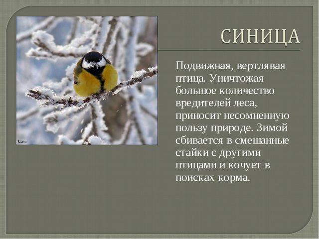 Подвижная, вертлявая птица. Уничтожая большое количество вредителей леса, при...