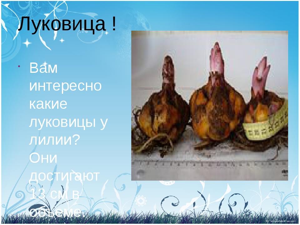 Луковица ! Вам интересно какие луковицы у лилии? Они достигают 13 см в объеме.