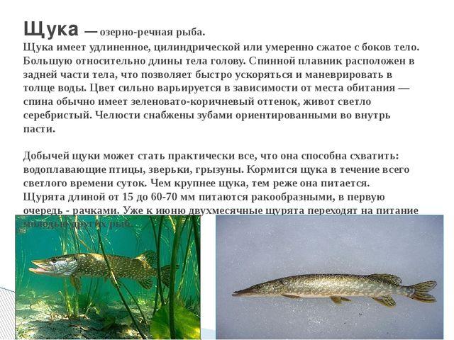 Щука — озерно-речная рыба. Щука имеет удлиненное, цилиндрической или умеренн...