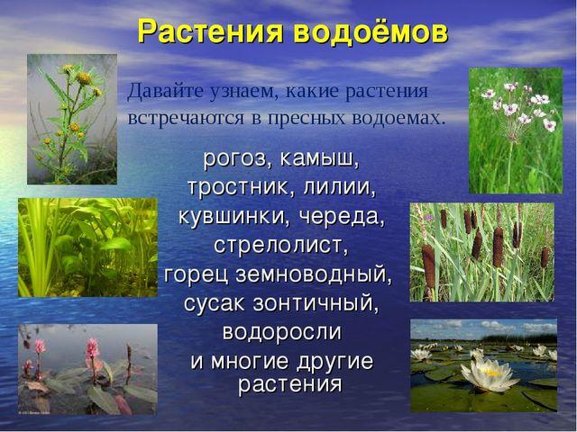 Растения водоёмов рогоз, камыш, тростник, лилии, кувшинки, череда, стрелолист...