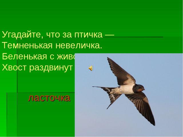 Угадайте, что за птичка — Темненькая невеличка. Беленькая с живота, Хвост раз...