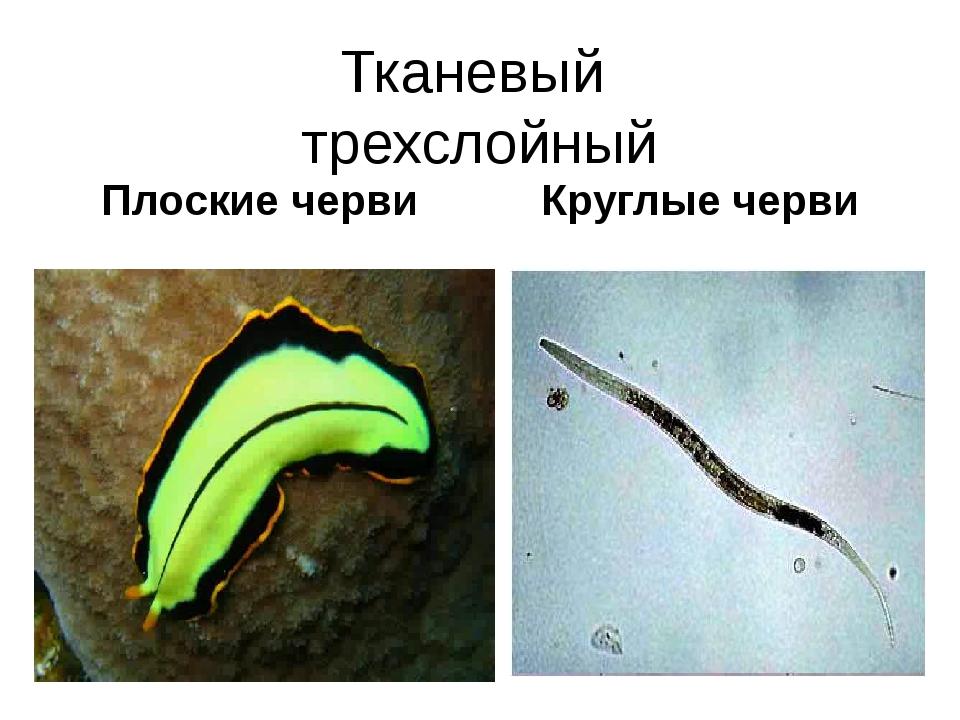 Тканевый трехслойный Плоские черви Круглые черви Тип Плоские черви Имеют тело...