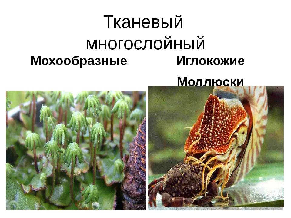 Тканевый многослойный Мохообразные Иглокожие Моллюски Отдел Мохообразные Прео...