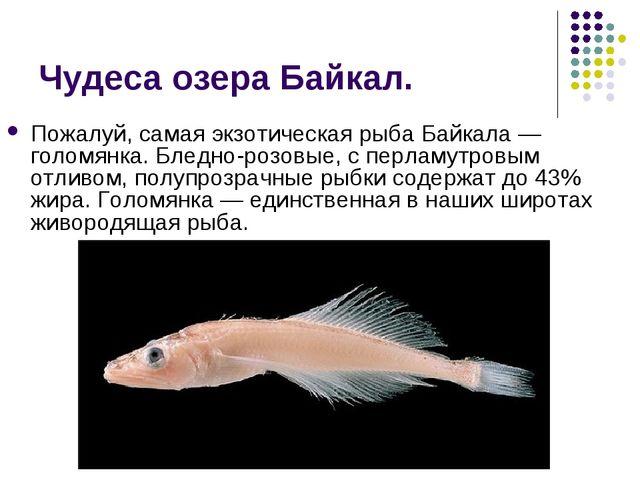 Чудеса озера Байкал. Пожалуй, самая экзотическая рыба Байкала — голомянка. Бл...