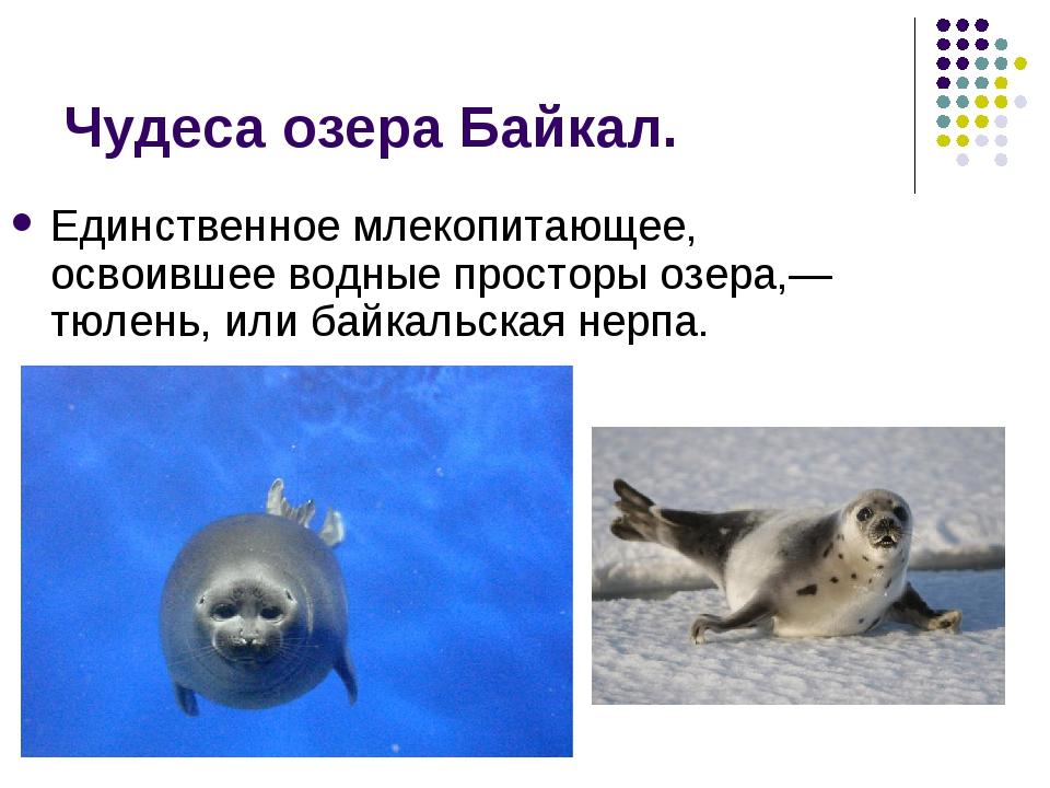 Чудеса озера Байкал. Единственное млекопитающее, освоившее водные просторы оз...