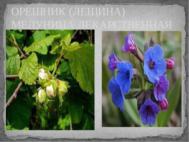 ОРЕШНИК (ЛЕЩИНА) МЕДУНИЦА ЛЕКАРСТВЕННАЯ Орешник, медуница лекарственная
