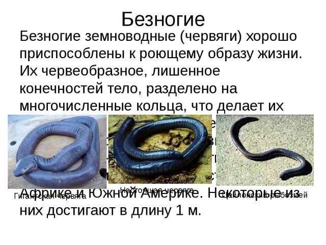 Безногие Безногие земноводные (червяги) хорошо приспособлены к роющему образу...