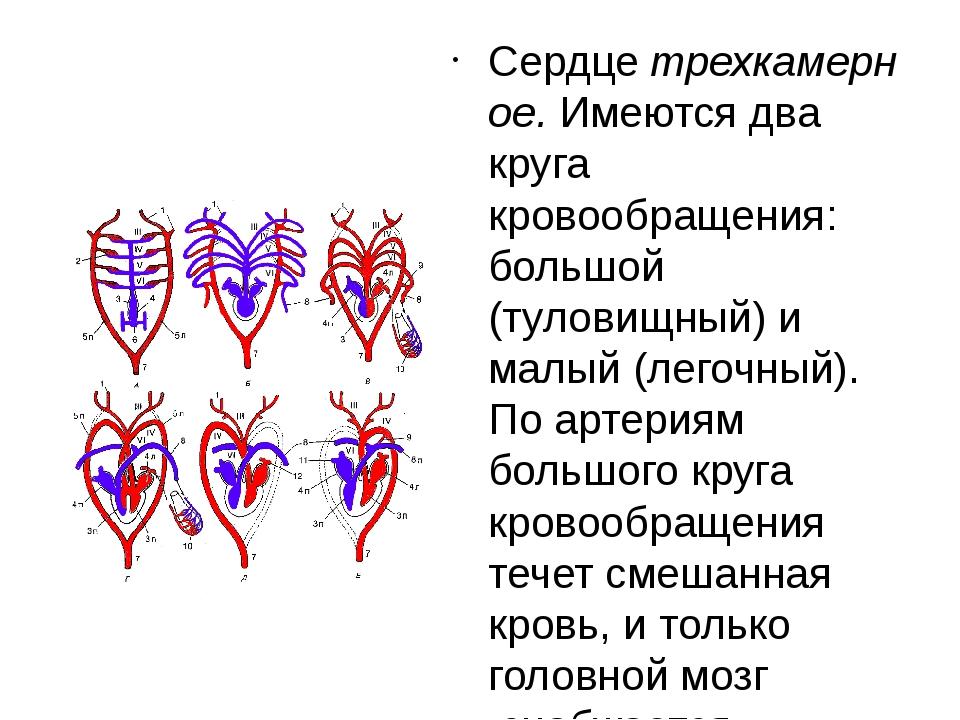 Сердцетрехкамерное.Имеются два круга кровообращения: большой (туловищный)...