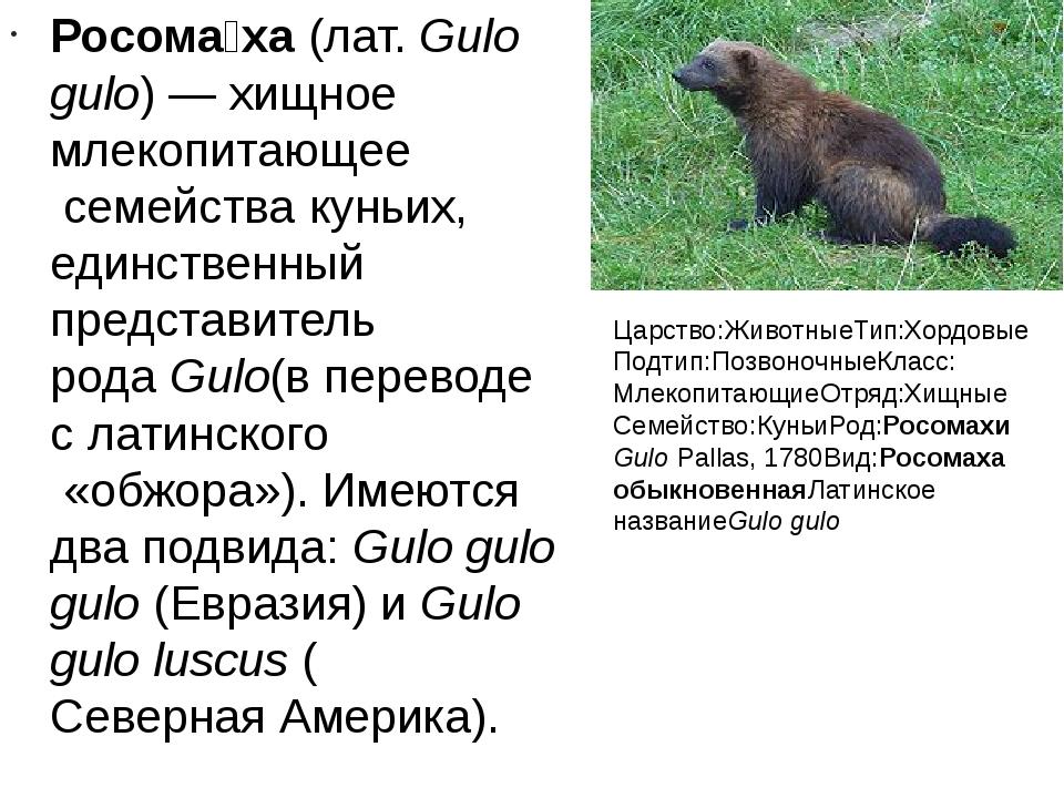 Росома́ха(лат.Gulo gulo)— хищноемлекопитающеесемействакуньих, единствен...