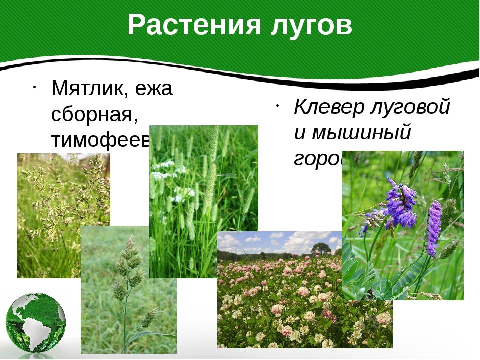Растения лугов Мятлик, ежа сборная, тимофеевка Клевер луговой и мышиный горошек