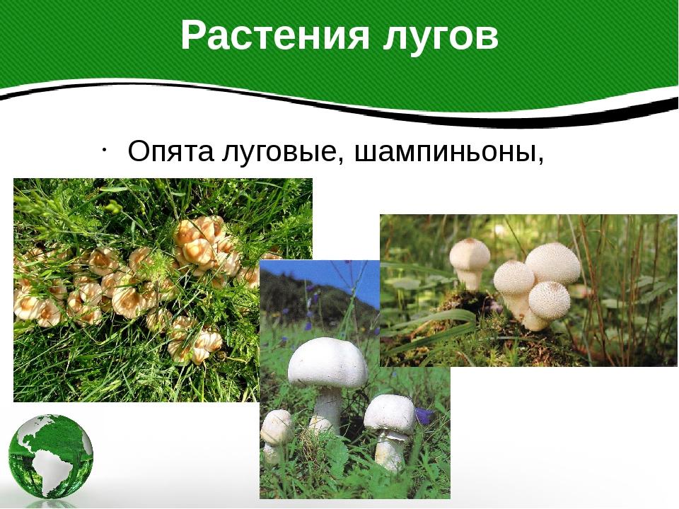 Растения лугов Опята луговые, шампиньоны, дождевики