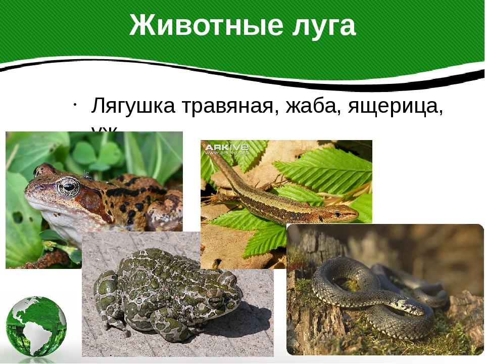 Животные луга Лягушка травяная, жаба, ящерица, уж