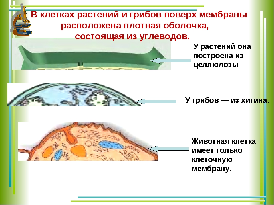 В клетках растений и грибов поверх мембраны расположена плотная оболочка, со...
