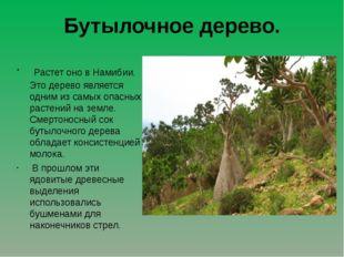 Бутылочное дерево. Растет оно в Намибии. Это дерево является одним из самых