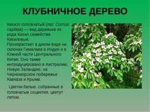 КЛУБНИЧНОЕ ДЕРЕВО Кизи́л голо́вчатый (лат. Cornus capitata) — вид деревьев из