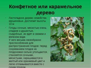 Конфетное или карамельное дерево Листопадное дерево семейства крушиновых. Дос