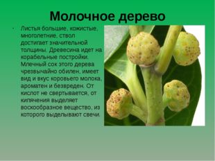Молочное дерево Листья большие, кожистые, многолетние, ствол достигает значит
