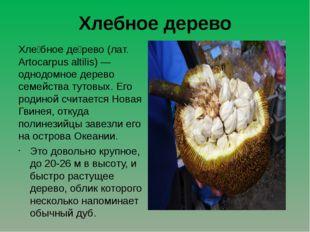 Хлебное дерево Хле́бное де́рево (лат. Artocarpus altilis) — однодомное дерево