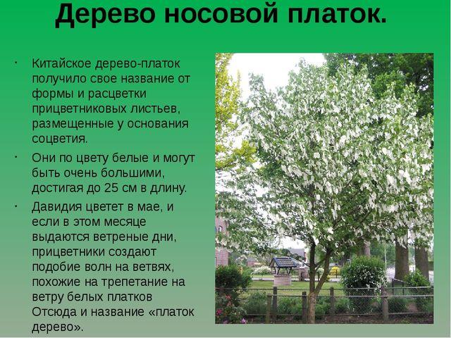 Дерево носовой платок. Китайское дерево-платок получило свое название от форм...