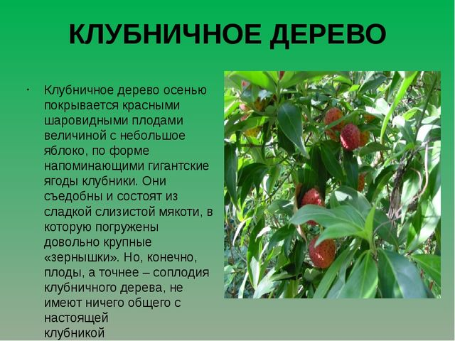 КЛУБНИЧНОЕ ДЕРЕВО Клубничное дерево осенью покрывается красными шаровидными п...