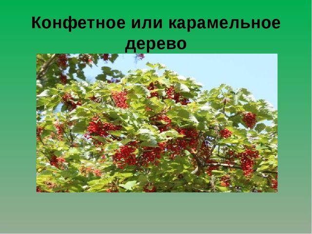 Конфетное или карамельное дерево