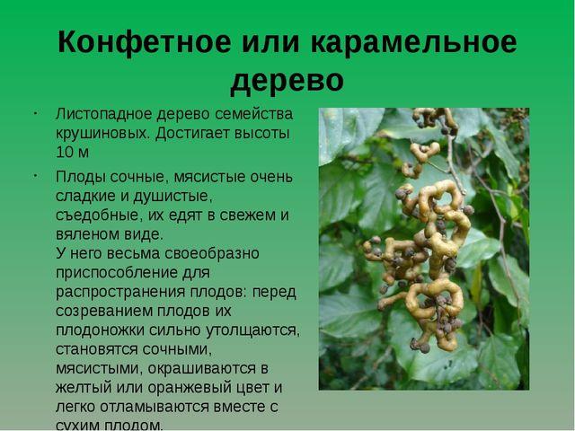 Конфетное или карамельное дерево Листопадное дерево семейства крушиновых. Дос...