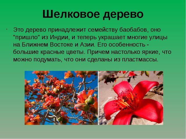 """Шелковое дерево Это дерево принадлежит семейству баобабов, оно """"пришло"""" из Ин..."""