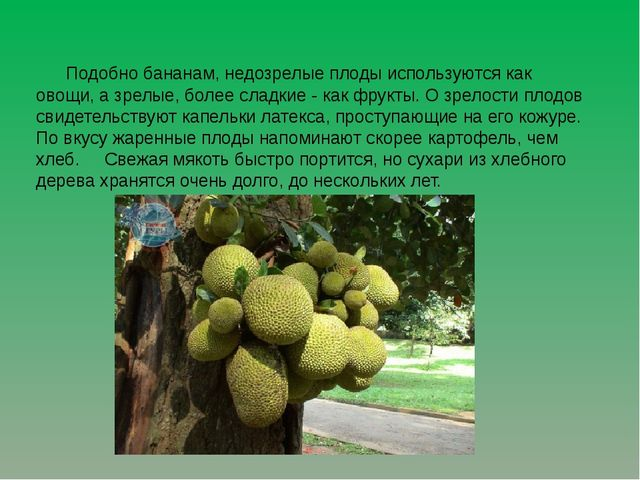 Подобно бананам, недозрелые плоды используются как овощи, а зрелые, более сл...