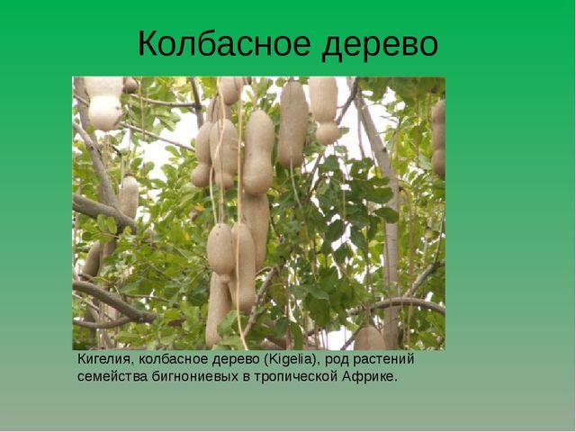 Колбасное дерево Кигелия, колбасное дерево (Kigelia), род растений семейства...