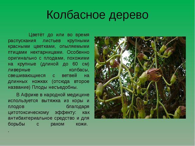 Колбасное дерево Цветёт до или во время распускания листьев крупными красными...