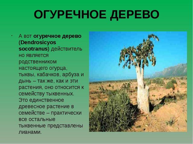 ОГУРЕЧНОЕ ДЕРЕВО А вот огуречное дерево (Dendrosicyos socotranus)действитель...