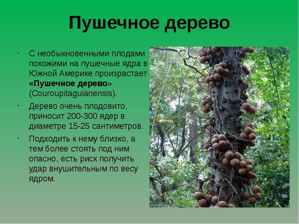 Пушечное дерево С необыкновенными плодами похожими на пушечные ядра в Южной А...