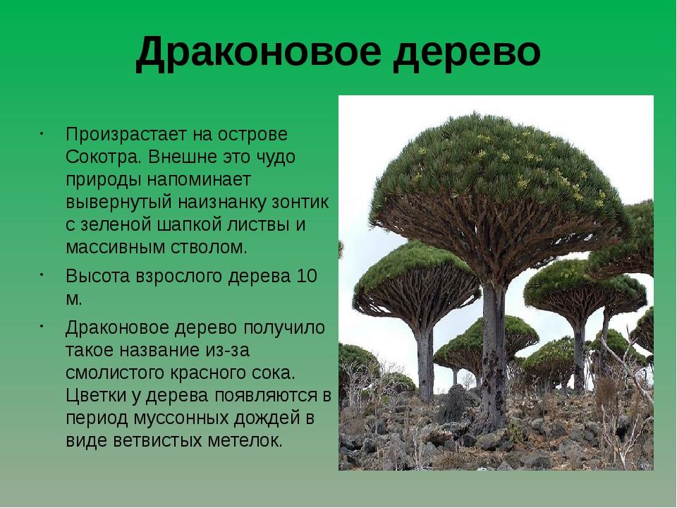 Драконовое дерево Произрастает на острове Сокотра. Внешне это чудо природы на...