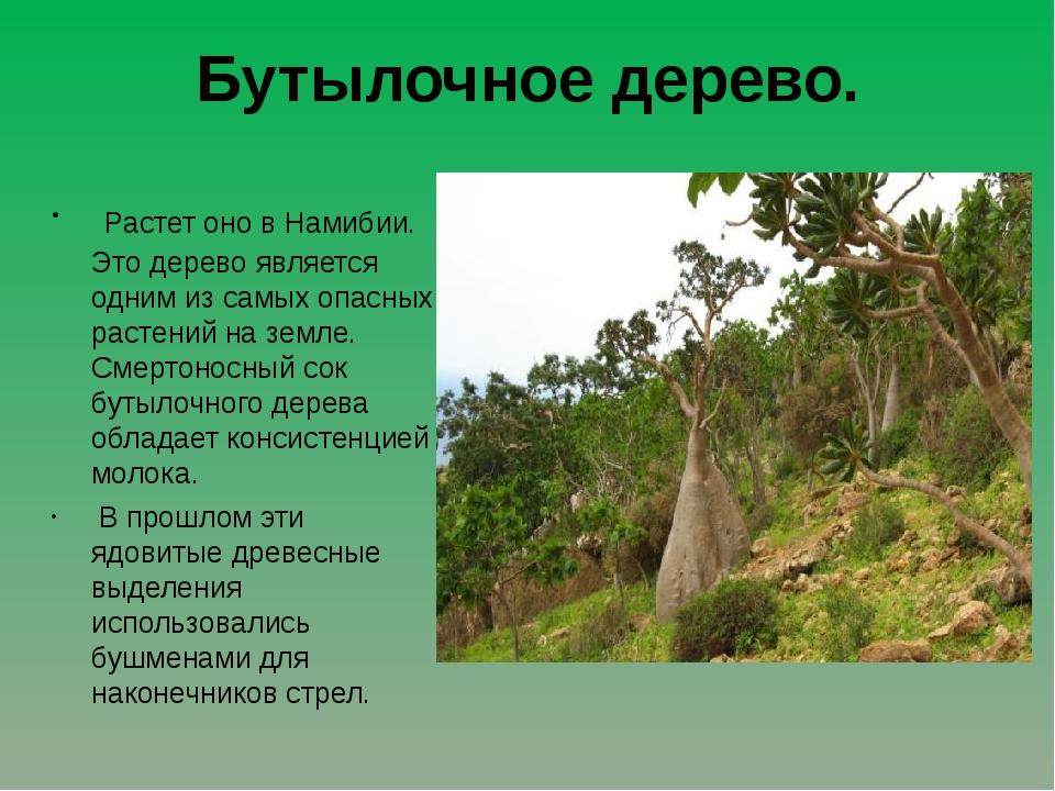 Бутылочное дерево. Растет оно в Намибии. Это дерево является одним из самых...