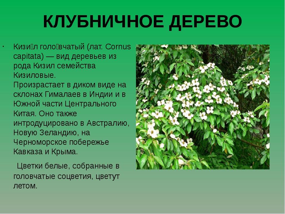 КЛУБНИЧНОЕ ДЕРЕВО Кизи́л голо́вчатый (лат. Cornus capitata) — вид деревьев из...