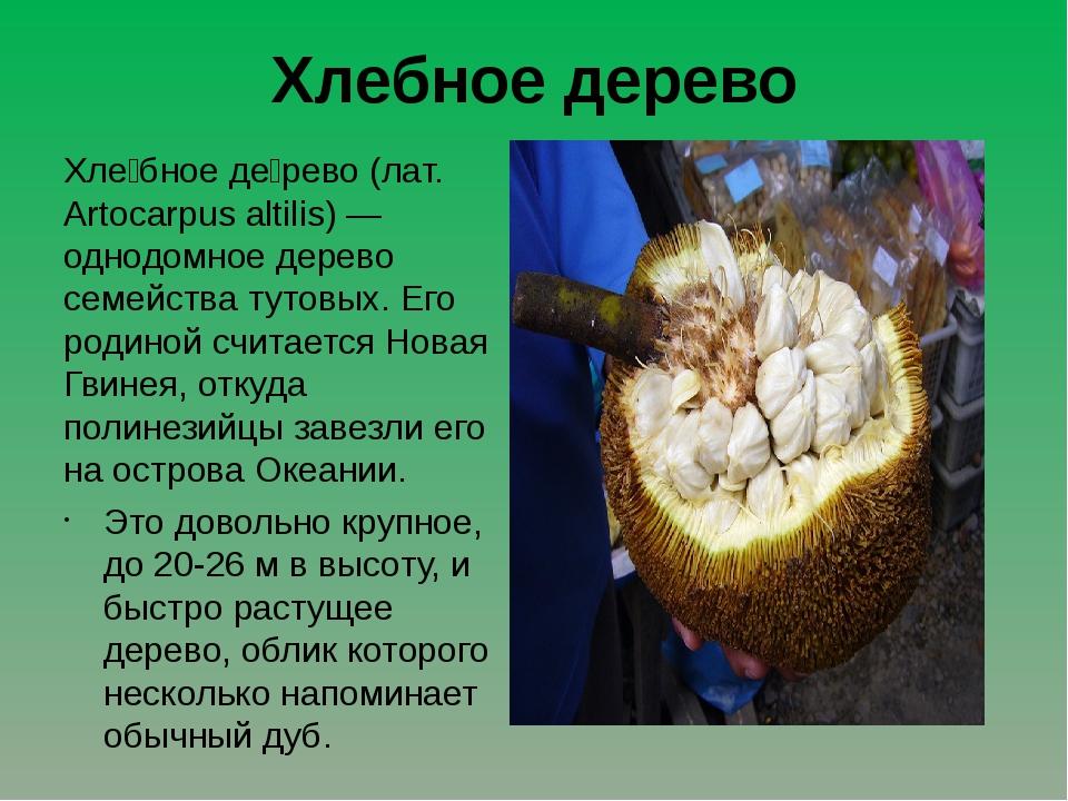Хлебное дерево Хле́бное де́рево (лат. Artocarpus altilis) — однодомное дерево...