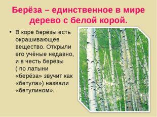 Берёза – единственное в мире дерево с белой корой. В коре берёзы есть окрашив