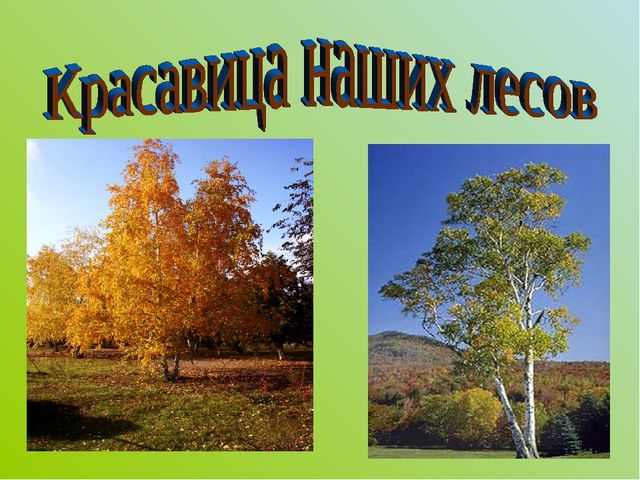 Красавица наших лесов