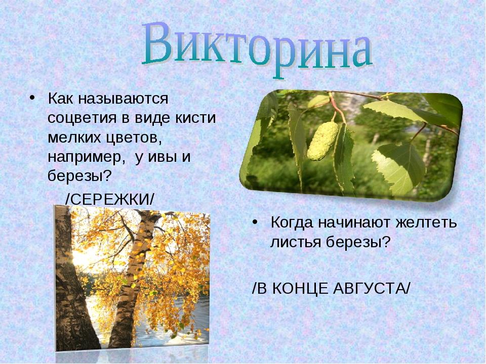 Как называются соцветия в виде кисти мелких цветов, например, у ивы и березы?...