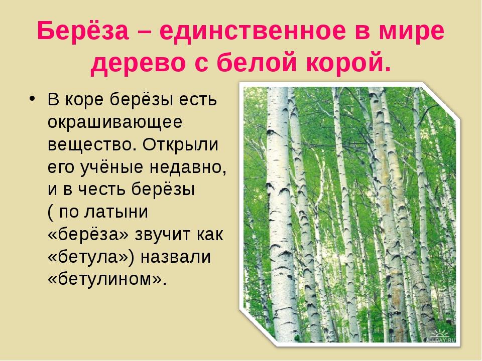 Берёза – единственное в мире дерево с белой корой. В коре берёзы есть окрашив...