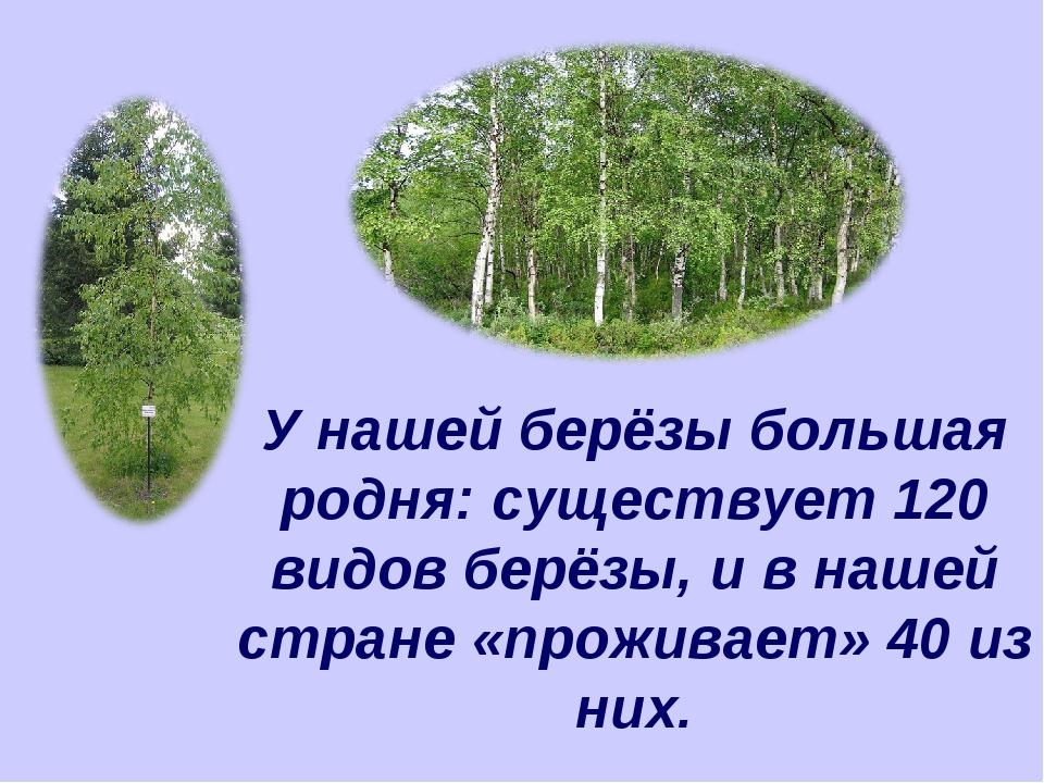 У нашей берёзы большая родня: существует 120 видов берёзы, и в нашей стране «...