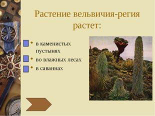 Растение вельвичия-регия растет: в каменистых пустынях во влажных лесах в сав