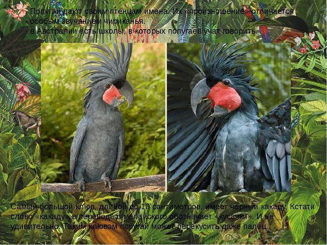 Попугаи дают своим птенцам имена. Их «произношение» отличается особым звучан...