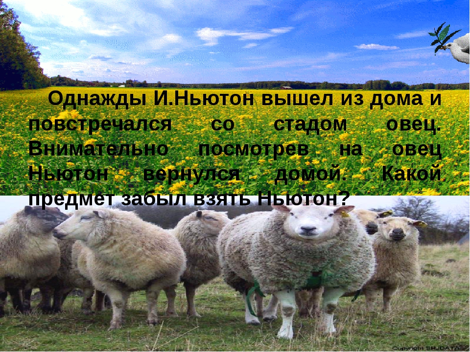 Однажды И.Ньютон вышел из дома и повстречался со стадом овец. Внимательно по...